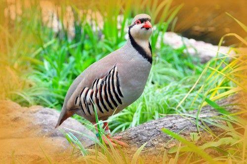 صور الحجل ومعلومات كاملة عن طائر الحجل Animals Bird