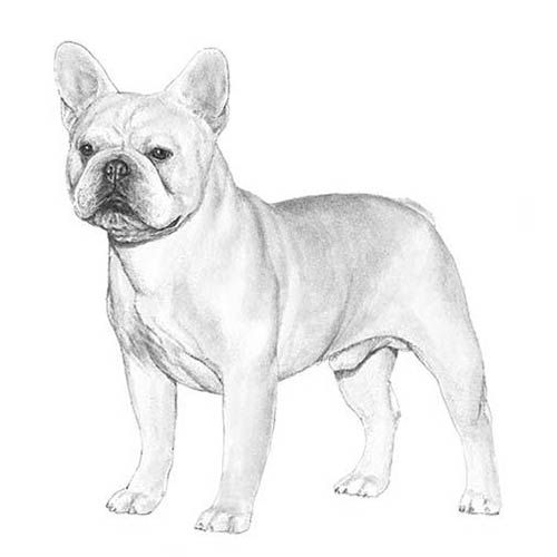 French Bulldog Dog Breed Information In 2020 French Bulldog Dog