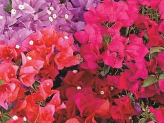 From Sophia & Lauren to Jazzi, these bougainvillea from Bloomtastic! are hot.