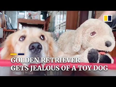 Golden Retriever Gets Jealous Of His Master Petting A Toy Dog In