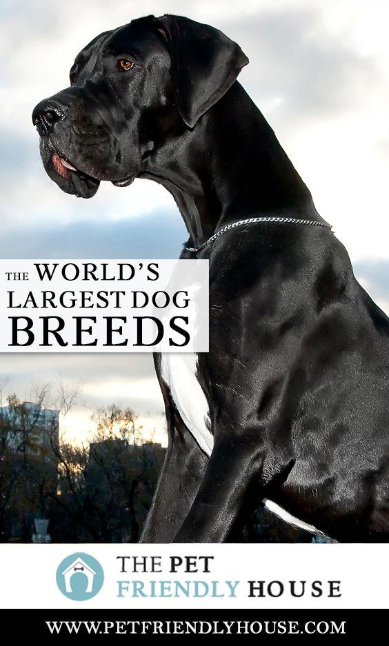 The World S Largest Dog Breeds In 2020 Large Dog Breeds Big Dog