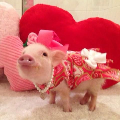PetsLady's Pick: Cute Valentine Pig Of The Day...see more at PetsLady.com -The FUN site for Animal Lovers: