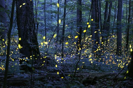 Synchronous fireflies at Great Smoky Mountains National Park/NPS: