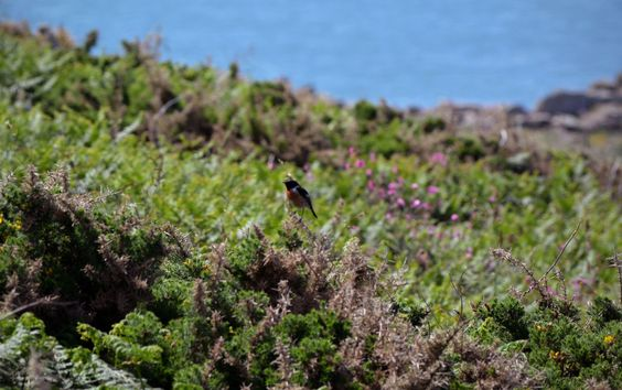 Stonechat on Rinsey cliff, near Praa Sands, Cornwall, photo taken by Claire Hawken