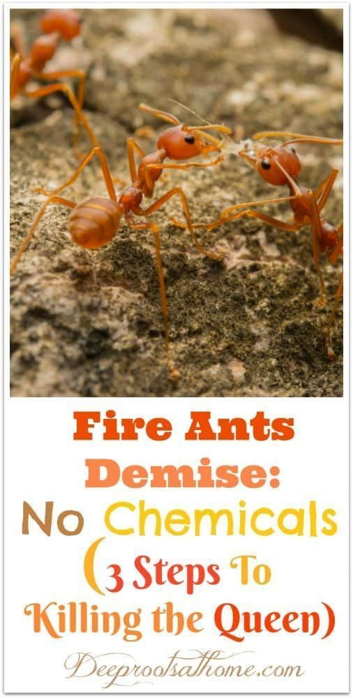 Fire Ants Kill The Queen If You Do These 3 Steps Fire Ants Ants In Garden Ants