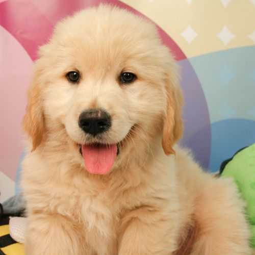 Golden Retriever Puppies For Sale Golden Retriever Golden Retriever Puppy Retriever