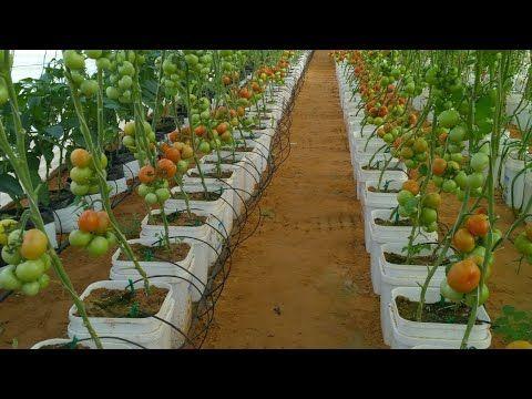خبايا وأسرار زراعة السطول بالمنزل او السطح او بالبيت المحمي كحل نهائي للنيماتودا بالزراعة العضوية Youtube Agriculture Aquaponics Farm