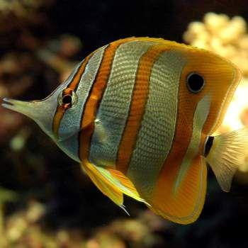 Los animales marinos, a diferencia de los terrestres no pueden, por si mismos, limpiarse la piel combatiendo a los parásitos.