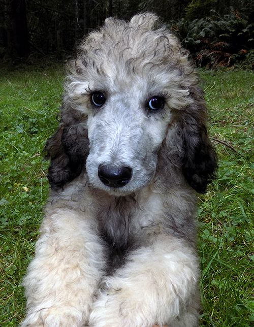 Poodle Standard Puppy For Sale In Eureka Ca Adn 63309 On