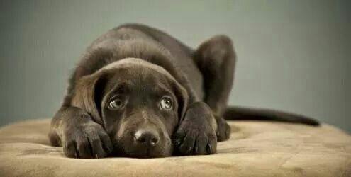 Fofo: Se você gosta realmente de seu amigo, precisa ensiná-lo a ficar feliz também sozinho. Uma das melhores formas é dar-lhe o direito de viver com um companheiro da mesma espécie, criando dois animais. Outra é acostumá-lo gradativamente a ser mais independente e fazer com que ele associe sua ausência com algo prazeroso, como uma caixa de brinquedos que o bicho acessa somente quando fica só. #pet #dogs #amormaiornãohá #quemamacuida
