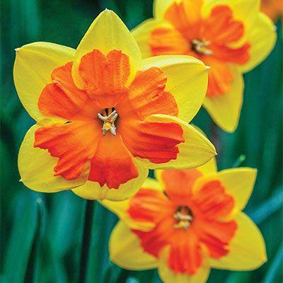 Split-Corona Daffodil Mondragon