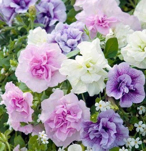 Petunia Thumbelina English Garden Petunia Plant Fragrant Flowers Petunias