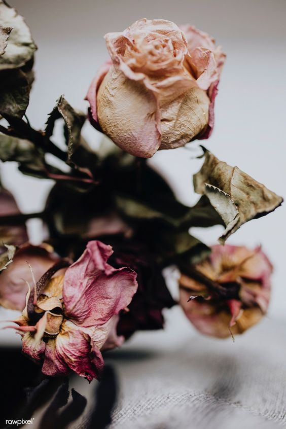 Dried pink roses | free image by rawpixel.com / Karolina / Kaboompics