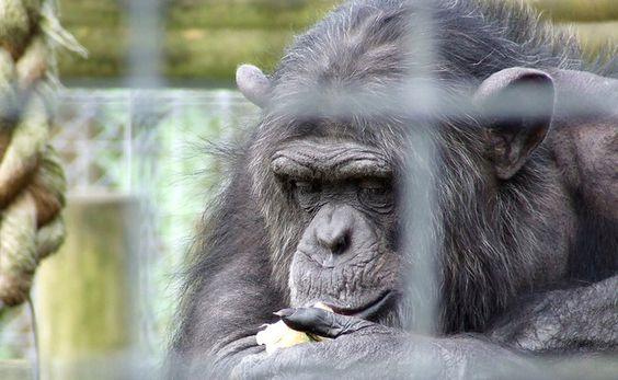 7 Lab Chimps Deserve to Retire to an U.S. Sanctuary, Not a U.K. Zoo