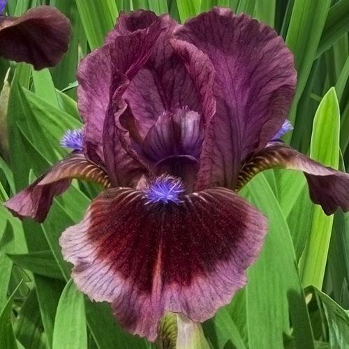Iris Germanica Cats Eye Bulb Flowers Flower Pot Design Iris