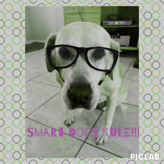 My yellow Lab Havana. She is so smart!!