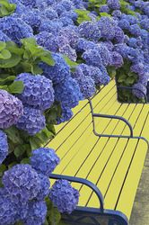 blue hydrangeas, yellow bench
