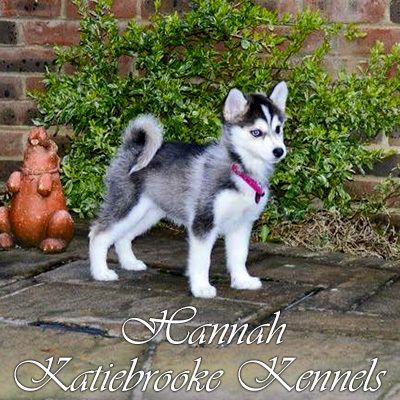 Full Grown Pomskies Pomsky Puppies Pomsky Alaskan Dog Breeds