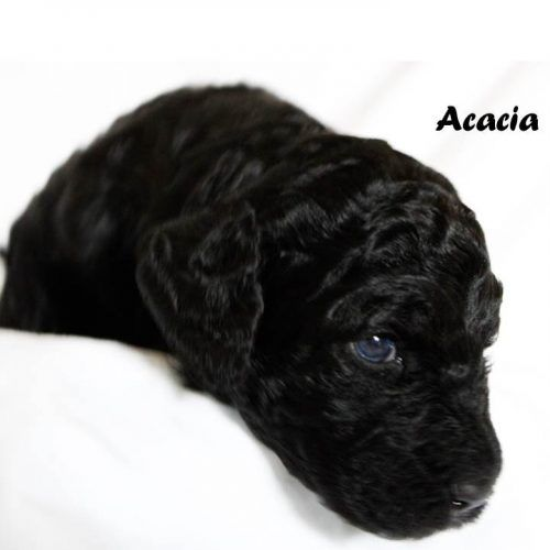 Dog Breeder Near Me With Quality Puppies For Sale Vip Puppies