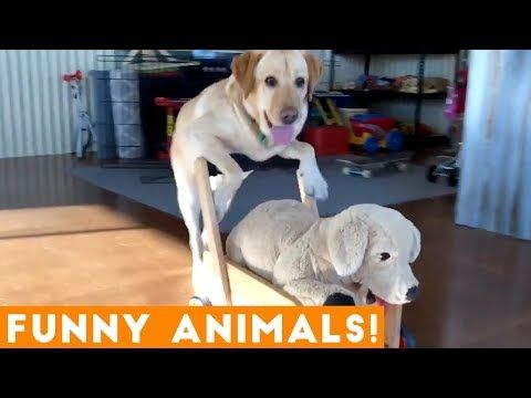 Funniest Pets Animals Of The Week Compilation October 2018