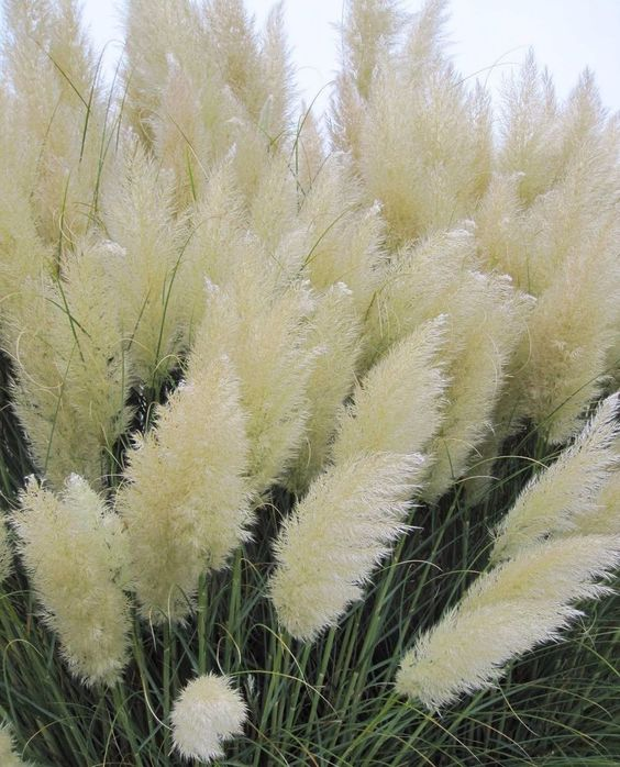 White pampas grass cortaderia selloana 100 seeds showy for Ornamental grass with purple plumes