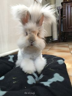 Loki the english angora rabbit: