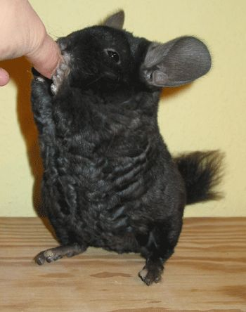Those Germans and their curly chinchillas...