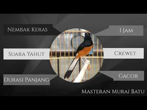 Masteran Murai Batu Nembak Keras Gacor Yahut Durasi Panjang Youtube Youtube Video Murai