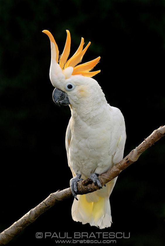 Citron cockatoo - photo#9
