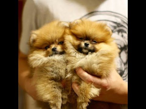Wishwas Pet World India Youtube In 2020 Pure Breed Dogs Pomeranian Dog Pomeranian Puppy