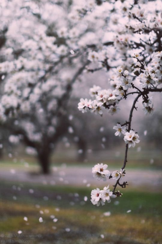 Almond trees blooming  iStockPhoto | RedBubble | Society6