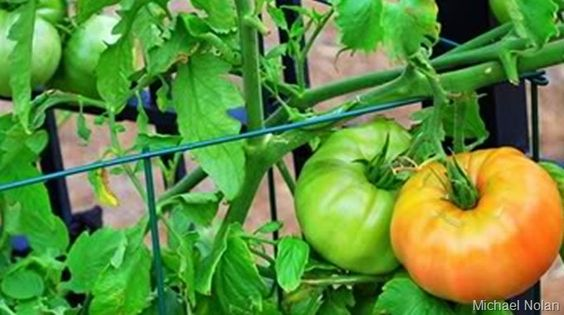 Got crazy tomatoes? The cage vs. the stakes. Who wins the competition?