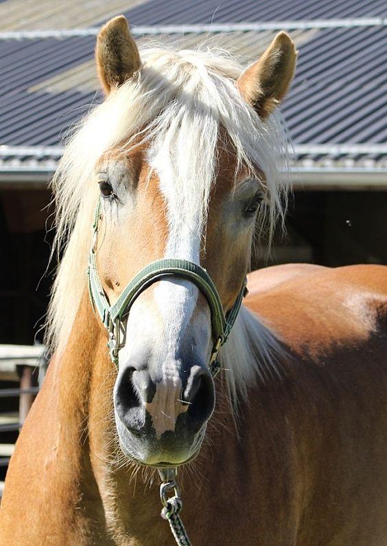 Hübsche, große Haflingerdame - Pferde kaufen in Scheffau - pferdeanzeiger.at