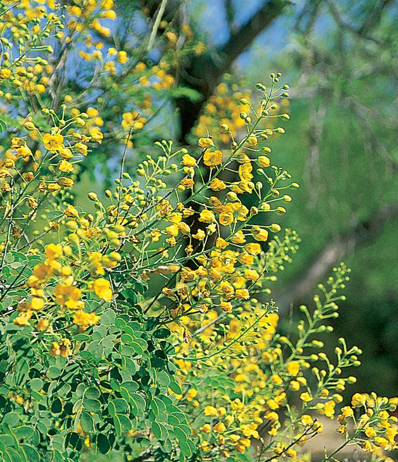Trees landscapes and hummingbirds on pinterest for Garden trees with yellow flowers