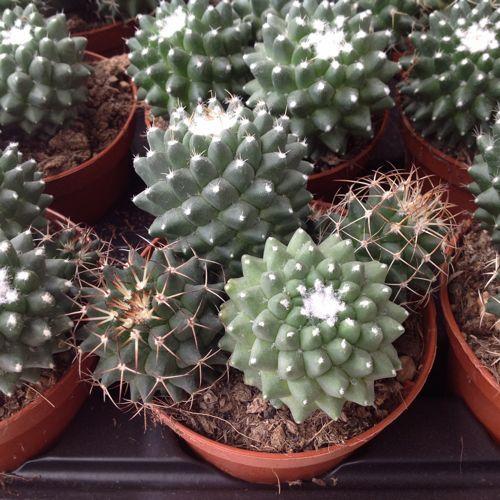 Mammillaria Magnimamma Toluca Vendita Cactus Piante Grasse E