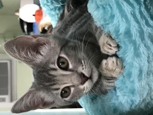 Adopt Scarlet Witch On Petfinder Cat Adoption Kitten Rescue Scarlet Witch
