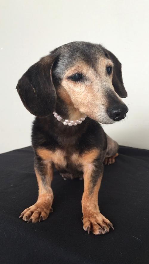 Adopt Belle On Dachshund Adoption Dachshund Pets