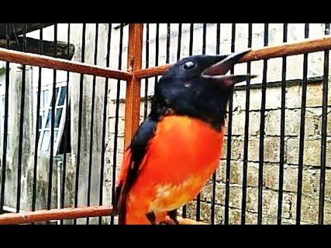 Langsung Gacor Cukup Dengan Sekali Pancingan Menggunakan Suara Murai Bat Murai Burung Suara