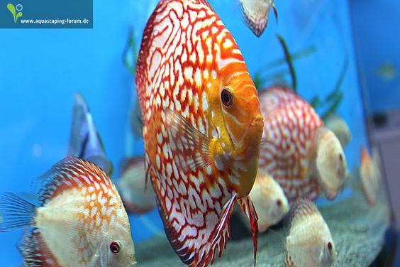 Diskus-Aquarium
