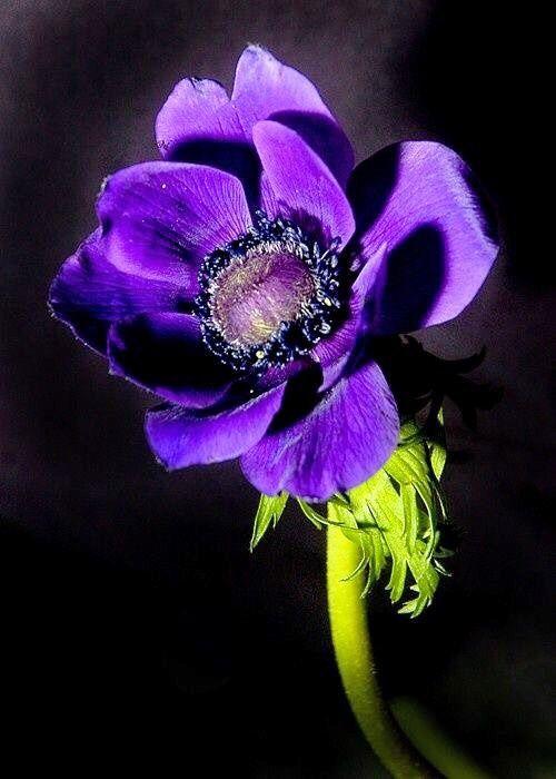 Nomi Di Fiori Viola.1 Tumblr Fotografia Di Fiori Anemoni Bellissimi Fiori