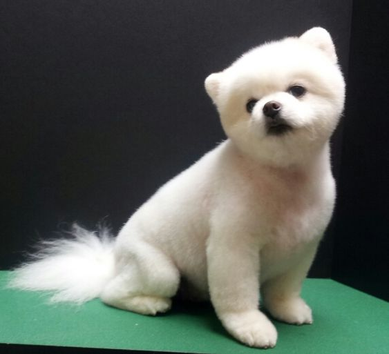 Pomeranian Teddy Bear Trim Puppy Cut White Pomeranian