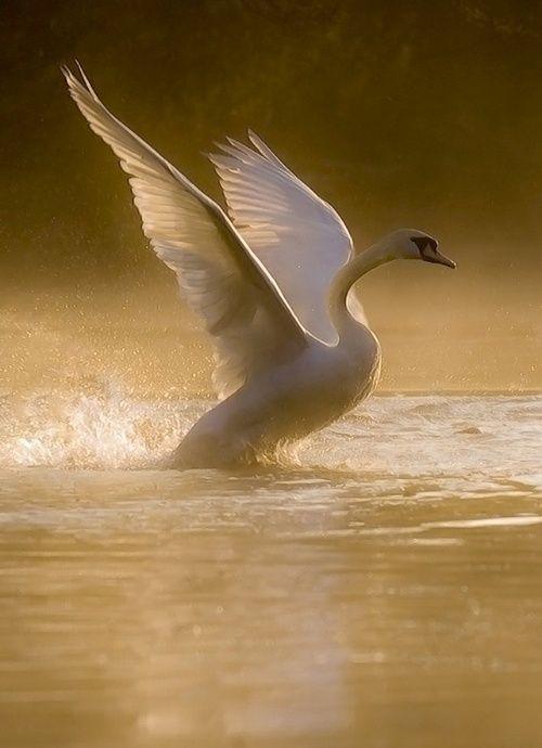 swan: