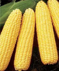 holy sweet corn :)