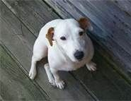This jack russell terrier looks like my Winston
