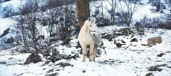 Un cheval blanc dans la neige
