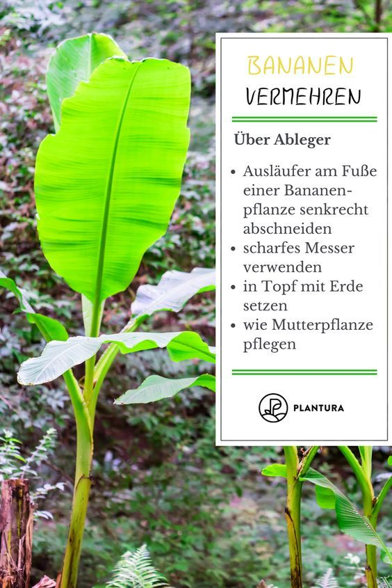 Bananenpflanze Pflanzen Pflegen Im Eigenen Garten Pflanzen Bananenpflanze Garten Pflanzen