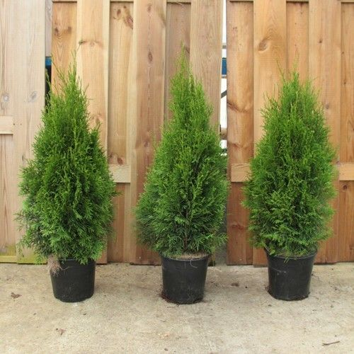Thuja Occidentalis Smaragd In 2020 Thuja Occidentalis Soil Improvement Garden Center
