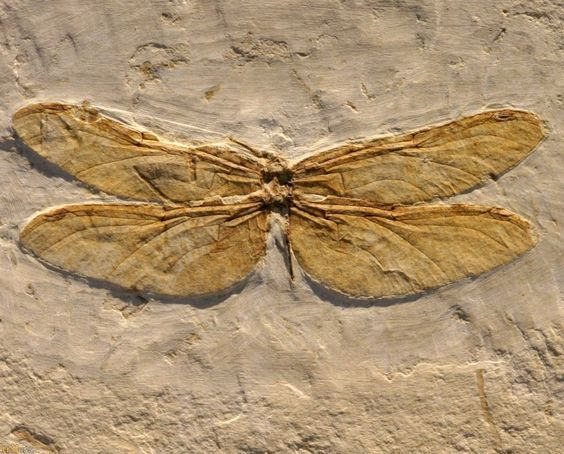 fossilized insects - Google Search