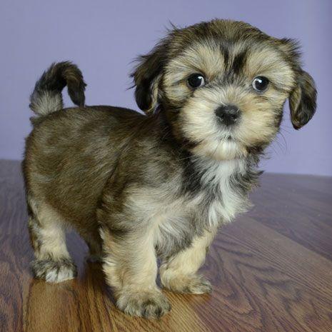 Puppy sale orlando