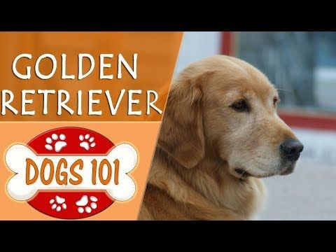 Dogs 101 Golden Retriever Top Dog Facts About The Golden